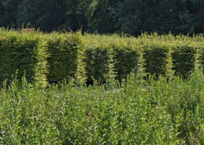 hampshire-hedges-01_143rev