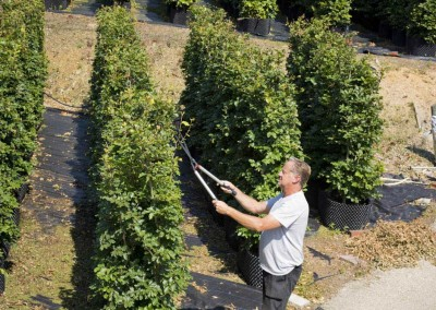 hampshire hedges pruning the hedges
