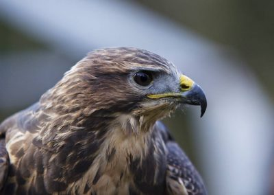 close up head bird of prey